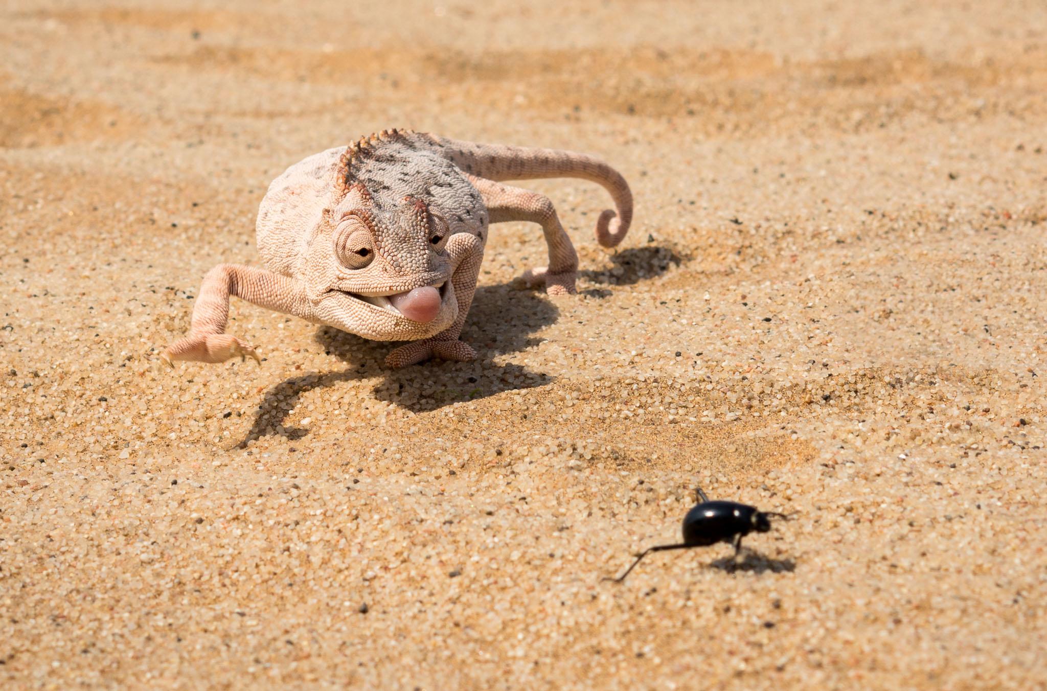 Namaqua Chamäleon mit Nebeltrinker-Käfer